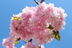 El grado del PRUNUS KIKU SHIDARE del cerezo que llora florece en f fotos de archivo