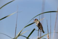 El gran Acrocephalus de lámina de la curruca del pájaro se sienta en espadaña, la caña o el cattail en el día de primavera solead fotos de archivo