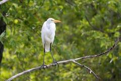 El gran Egret blanco se encaramó en un árbol Fotos de archivo