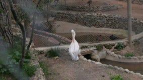 El gran pelícano blanco limpia plumas cerca de la charca metrajes