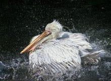 El gran pelícano blanco se baña en agua Imagen de archivo