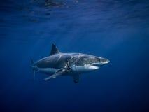 El gran tiburón blanco marcado con etiqueta en el océano azul debajo del sol irradia Fotos de archivo libres de regalías