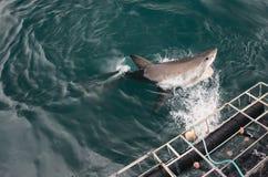 El gran tiburón blanco salta Fotos de archivo libres de regalías
