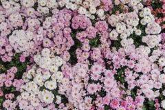 El grandifflora de Dendranthemum que otro nombre se sabe que es el crisantemo del crisantemo se utiliza en el significado de la f Imagen de archivo libre de regalías