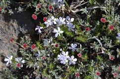 El grandiflorus del polemonio y del alforfón, del Linanthus y la especie Lithosol de Eriogonum cultiva un huerto, las montañas de Foto de archivo