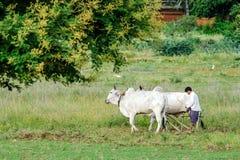 El granjero birmano est? trabajando con los toros en su campo del arroz con los templos antiguos hermosos y fondo de la pagoda en fotografía de archivo