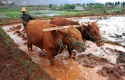 El granjero chino trabaja en un campo del arroz Imágenes de archivo libres de regalías