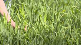 El granjero comprueba el cereal, trigo antes del tiempo de cosecha almacen de video