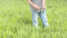 El granjero comprueba el cereal, trigo antes del tiempo de cosecha almacen de metraje de vídeo