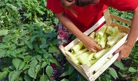 El granjero cosechó las pimientas vegetales en un invernadero Imágenes de archivo libres de regalías