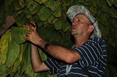 El granjero cubano que muestra su tabacco deja el driyng en una choza en Vinal fotos de archivo