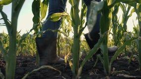 El granjero de la muchacha camina a través de un campo de maíz almacen de video
