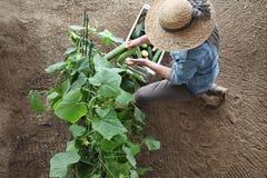 El granjero de la mujer que trabaja en huerto, recoge un pepino adentro imagen de archivo