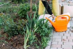 El granjero de la mujer toma el cuidado de las plantas en la plantación farming añada el fertilizante fotografía de archivo libre de regalías