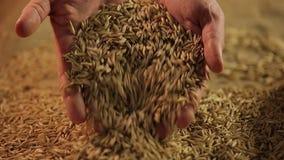 El granjero de sexo masculino da el grano maduro de colada del centeno, estación de la cosecha en negocio de la agricultura almacen de metraje de vídeo