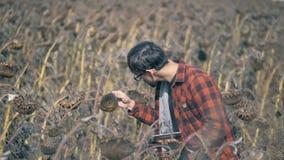 El granjero de sexo masculino examina las plantas del girasol Un granjero mira una planta, colocándose en un campo secado almacen de video