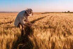 El granjero del agrónomo está examinando los oídos de maduración del trigo en campo fotografía de archivo