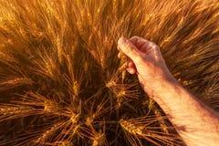 El granjero del agrónomo está examinando los oídos de maduración del trigo en campo foto de archivo