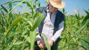 El granjero en campo de maíz rasga maíz Un hombre mayor en paseos de un sombrero de paja un campo de maíz y controles la cosecha  almacen de metraje de vídeo