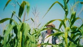 El granjero en campo de maíz rasga maíz Un hombre mayor en paseos de un sombrero de paja un campo de maíz y controles la cosecha  metrajes