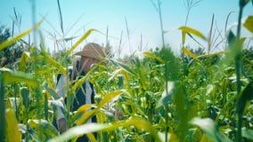 El granjero en campo de maíz rasga maíz Un hombre mayor en paseos de un sombrero de paja un campo de maíz y controles la cosecha  almacen de video