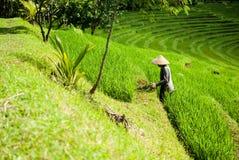 El granjero en el arroz coloca, las terrazas hermosas del arroz en Bali Imágenes de archivo libres de regalías