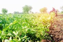 El granjero en el tractor trabaja en el campo, cosecha de patatas, trabajo manual, cultivando, agricultura, agroindustria en el T foto de archivo libre de regalías