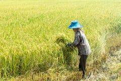 El granjero era arroz maduro de la cosecha en su campo Fotografía de archivo