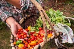 El granjero escogió verduras frescas de un jardín al aire libre Imagen de archivo libre de regalías