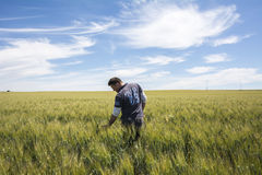 El granjero está comprobando el trigo de la calidad de la cosecha Fotos de archivo libres de regalías