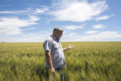 El granjero está comprobando el trigo de la calidad de la cosecha Foto de archivo libre de regalías