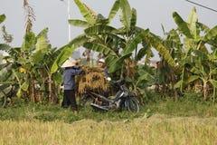 El granjero está cosechando la planta de arroz Imagen de archivo