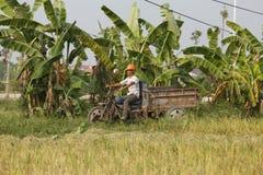 El granjero está cosechando la planta de arroz Fotos de archivo
