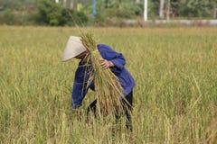 El granjero está cosechando la planta de arroz Imagenes de archivo