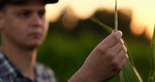 El granjero está examinando las plantas cultivadas del maíz en puesta del sol Ciérrese para arriba de la mano que toca la hoja de almacen de metraje de vídeo