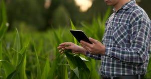 El granjero está examinando las plantas cultivadas del maíz en puesta del sol Ciérrese para arriba de la mano que toca la hoja de metrajes
