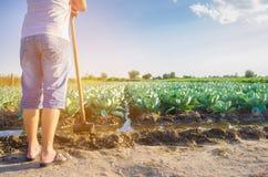 El granjero está regando el campo irrigación natural Las plantaciones de la col crecen en el campo filas vegetales Cultivo de agr foto de archivo libre de regalías