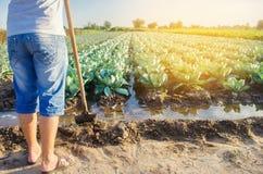 El granjero está regando el campo irrigación natural Las plantaciones de la col crecen en el campo filas vegetales Cultivo de agr imagen de archivo libre de regalías