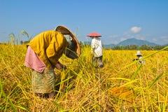 El granjero está trabajando el arroz de la cosecha en campo Fotografía de archivo