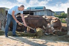 El granjero está trabajando en granja con las vacas lecheras Fotografía de archivo libre de regalías