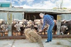 El granjero está trabajando en granja con las vacas lecheras Foto de archivo