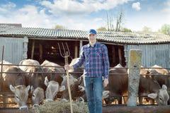 El granjero está trabajando en granja con las vacas lecheras Fotografía de archivo