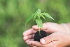 El granjero Holding una planta del cáñamo, granjeros está plantando almácigos de la marijuana foto de archivo libre de regalías