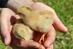 El granjero mantiene pollos jovenes manos Imagenes de archivo
