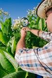 El granjero mira el tabaco en el campo Fotos de archivo libres de regalías