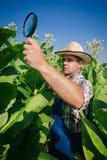 El granjero mira el tabaco en el campo Fotografía de archivo libre de regalías