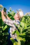 El granjero mira el tabaco en el campo Imagen de archivo libre de regalías