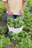 El granjero planta la fresa Imágenes de archivo libres de regalías