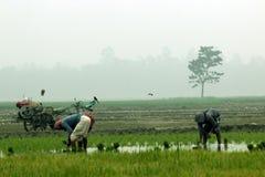 El granjero planta responsabilidad del arroz adentro Imágenes de archivo libres de regalías
