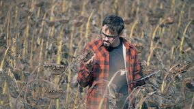 El granjero profesional sostiene un girasol secado en manos, después mecanografía en una tableta metrajes